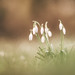 Dreaming snowdrops