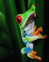 (~aya~) Tags: green frogs frog amphibians redeyedtreefrog