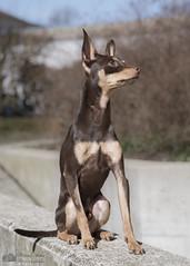 Nestor 1 an (Philippe Bélaz) Tags: nestor pragois ratierdeprague animal animaux animauxdecompagnie chien famille portraitsanimalier