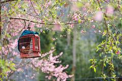 Ngoài kia đẹp biết nhường nào....@jvinhnguyen, Hà Giang 2018 (Vinh.NT photo - 0989.4594.88) Tags: bird cage spring sun ray cherryblossom hagiang travel canon 5dmarkii 70200 beautiful north hometown