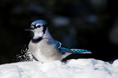 Blue Jay (NicoleW0000) Tags: bluejay bird blue colours snow neige throughherlens nature outdoor wildlife photography woods
