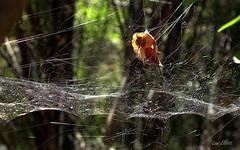 SPIDER WEB BOKEH (Lani Elliott) Tags: nature naturephotography spiderweb web bokeh glistening light bright green leaf superb wonderful gorgeous excellent beautiful theridiid parasteatoda