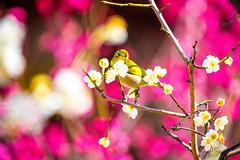 Springtime (moaan) Tags: kobe hyogo japan jp bird mejiro japanesewhiteeye ume umeblossom umetree branch perch blossom blossoming inblossom dof depthoffield bokeh bokehphotography canoneos5dsr ef70200mmf28lisiiusm 2x utata 2018
