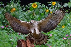 東方蜂鷹 Pernis ptilorhynchus (Shang-fu Dai) Tags: 台灣 taiwan nikon d500 formosa 蜂鷹 東方蜂鷹 pernisptilorhynchus 飛羽 鳥 bird nikonafs200500f56 動物