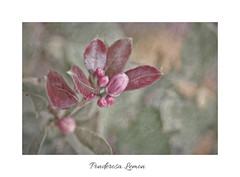 Ponderosa lemon flower buds (Zara Calista) Tags: fruit lemon bud ponderosa hybrid blooming bloom