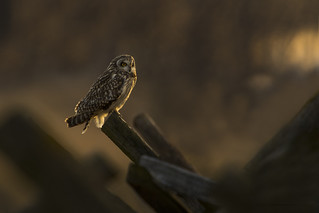 Glowing Short Eared