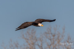 Bald Eagle makes the catch - 3 of 33