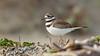 Killdeer (Bob Gunderson) Tags: birds california charadriusvociferus crissyfield killdeer northerncalifornia plovers presidio sanfrancisco shorebirds
