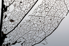 Magnolienblatt am Ende des Winters // magnolia leaf (seyf\ART) Tags: leaf plants nature decay macro nahaufnahmen gegenlicht netz network blatt baum