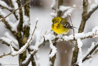 Yellow Warbler-9011-3
