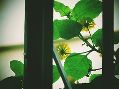 Yellow flower. (leitevictorhugo) Tags: são paulo brazil canon canonsx400is subway people christianity amauter blackandwhite monochromatic lights cirty skyline rammstein dogs history
