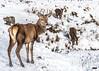 The Young Pretender (davidrhall1234) Tags: reddeercervuselaphus reddeer deer animal mammal glencoe glens countryside nature nikon outdoors wildlife world antlers herd scotland
