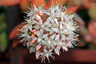 Fiore pianta grassa #37 ⭐