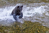 Grizzly Bear trying to catch a salmon, Knight Inlet Lodge, British Columbia, Canada 2017 (Fothoner) Tags: lachs salmon kanada grizzly bear british columbia tryingtocatchasalmon catchasalmon grizzlybear grizzlybeartryingtocatchasalmon knightinletlodge britishcolumbia knightinlet bc