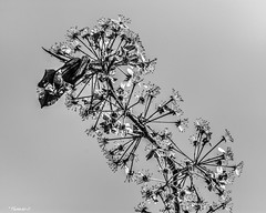 Signs Of Spring (that_damn_duck) Tags: blackwhite monochrome plant nature flowers flower petals blossom blooming stems bw blackandwhite