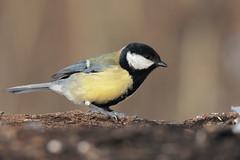 Cinciallegra (Marcello Giardinazzo) Tags: cinciallegra birds bird wild avifauna uccelli natura neve