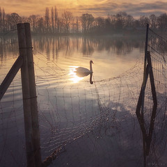 As the Sun Rises (M a r i k o) Tags: iphone iphonex iphoneography iphonephotography mobile mobilephotography mariko square swan schwan bird morning sunrise sun light reflection fence erding kronthalerweiher bayern bavaria germany snapseed mextures