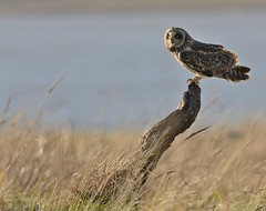 Short Eared Owl (Severnrover) Tags: shorty short eared owl bird perched uk severn estuary river