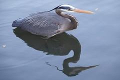 The Wait (Jon Ariel) Tags: egret bird water reflection gwinnett gwinnettcounty georgia ga