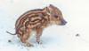 Baby wild boar (jklaroche) Tags: parcomega