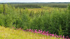 On the Road to Denali (PDX Bailey) Tags: alaska forest tree flower pink landscape green grass field