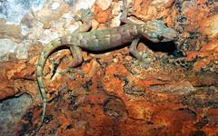 Bungle Bungle Dtella (nicgambold) Tags: australianwildlife herpetology herptofauna gekkonidae gecko dtella kimberley purnululu reptile rare restricted endemic