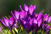 purple sensuality (Rainer ❏) Tags: violett krokus crocus unsergarten märz march märzsonne marchsun bokeh makro macro blume garten color xt2 rainer❏
