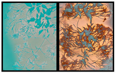 Jasmine (julesnene) Tags: california flower juliasumangil mitsubishisacelustrepaper sunprint atouchofgreen backyard diptych flora handmade jasmine julesnene lumen lumenart lumenphotography nocamera photogram garden green