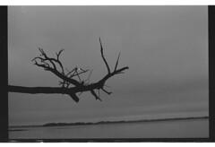 P55-2017-026 (lianefinch) Tags: blackandwhite blackwhite noirblanc noiretblanc argentique argentic analogique monochrome bretagne morbihan paysage landscape mer sea golfe nature ocean île island arbre tree eau water