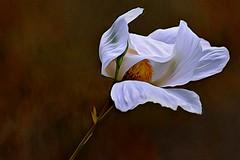 Laughing In The Sunshine (Christina's World-) Tags: poppy matilijapoppy flower wind nature friedeggflower plant blackbackground dark white textures artistic weather coth5