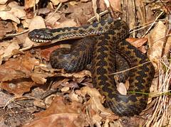 Adder ontwaakt + video (capreolus) Tags: adder viper viperaberus reptiles spring dwingelderveld holland