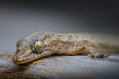 Macro stack of a tiny gecko... (stmlphoto) Tags: gecko reptile stack