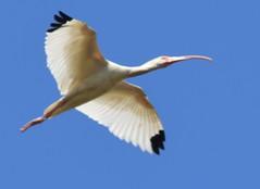 a lmn  ibis DSC_0064 (eustatic) Tags: basa wildlife grn lmn