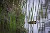 The Lurker (pakerholm) Tags: europeanbeaver castorfiber bäver europeiskbäver sigma150600 sigma150600f563dgsports sigma150600mmf563 sigmasport sigma 150600 600 nikon d600 d610 nikond600 nikond610 fullframe fullformat wildlife animals vildadjur mammals däggdjur oxelösund södermanland sörmland sweden sverige