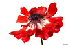 Anemone (Ken Mickel) Tags: anemone colors floral flower flowers flowersplants flowersonwhite harmonyanemone kenmickelphotography plants red whitebackground blossom blossoms closeup nature photography upclose
