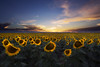 Fields of Sunflowers (Ryan C Wright) Tags: sunflowers sunflowerfields sunflower coloradosunflowers denver denverinternationalairport colorado visitcolorado coloradolandscape naturephotography landscapephotography fineartphotography stockphotography landscapeandnature landscape nature sunset homedecor officedecor ryanwrightphoto