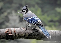 Blue Jay (GaryT48) Tags: cyanocittacristata bluejay tiogacounty pennsylvania wildlife p900