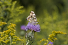 Butterfly 2017-185 (michaelramsdell1967) Tags: wildflower lavender blooming pollen sunflower floral butterfly butterflies nature yellow goldenrod thistle beauty beautiful pretty bokeh meadow field outside wilderness green insect insects spring animal animals wildlife bug bugs zen