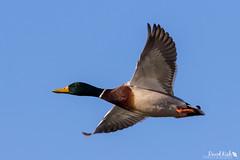 Mallard Flyby (dekish1) Tags: mallard duck inflight 2v3a0712jpg lakewood colorado unitedstates us copyrightdavidkish2018 belmarpark canon7dmarkii canon100400mm
