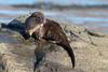 Otter (Simon Stobart) Tags: otter lutra scotland naturethroughthelens