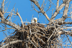Female Bald Eagle returns to the nest - 28 of 29