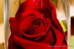 "Once upon a time - ""Enchanted Rose - Beauty & The Beast"" (Photonistan) Tags: onceuponatime rose enchantedrose macromonday beautyandthebeast macromondays red redrose"