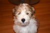 Nimbus (Canis lupus familiaris), Brampton On, Canada (West Tribe) Tags: shelchon sheltie bichon cross frise sheepdog shetland canine dog puppy brampton ontario canada
