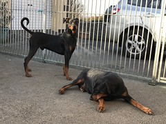 Dobermann Pinschers Saxon And Gabbana  Relaxing In The Back Yard (firehouse.ie) Tags: animala fantasticnature nature female male gabbana saxon pinscher pinschers dobermans doberman dobermanns dobermann dobies dobie dobeys dobey dobes dobe