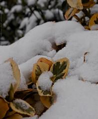 Amidst the snow (dksesh) Tags: seshadri dhanakoti harita panasonic dmcg6 g6 sesh seshfamily haritasya vilambisamvatsara panasonicdmcg6 panasonicg6 snow