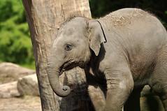 Elephas maximus - Asian Elephant (Going to the Zoo with Trebaruna) Tags: 25082011 2011 netherlands rotterdam rotterdamzoo diergaardeblijdorp diergaarderotterdam diergaarde animal zooanimal