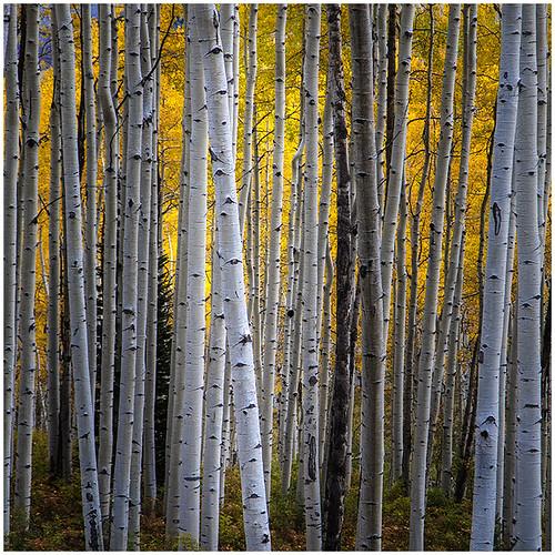 07 - Birch Stand by Bill Dixon