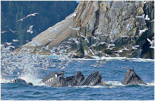 Humpback Whales Amid Gull Frenzy by Don Cochrane - Award Class B Prints - March 2018
