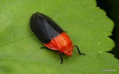 Froghopper, Cercopidae (Ecuador Megadiverso) Tags: amazon andreaskay cercopidae ecuador froghopper hemiptera rainforest spittlebug truebug cercopoidea