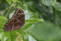 All Those Eyes (Alfred Grupstra) Tags: butterflyinsect insect nature animal animalwing summer greencolor closeup beautyinnature leaf wildlife lepidoptera macro multicolored outdoors backgrounds plant flower springtime brown